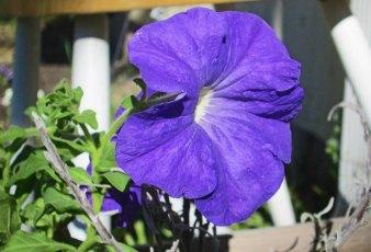 Purple